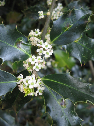 common holly tree flowers